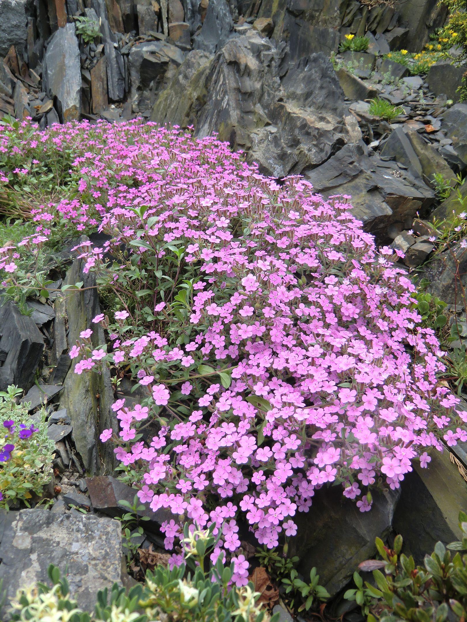 Wwwalpine Seedscom List Of Rock Alpine Seeds Beginning With S